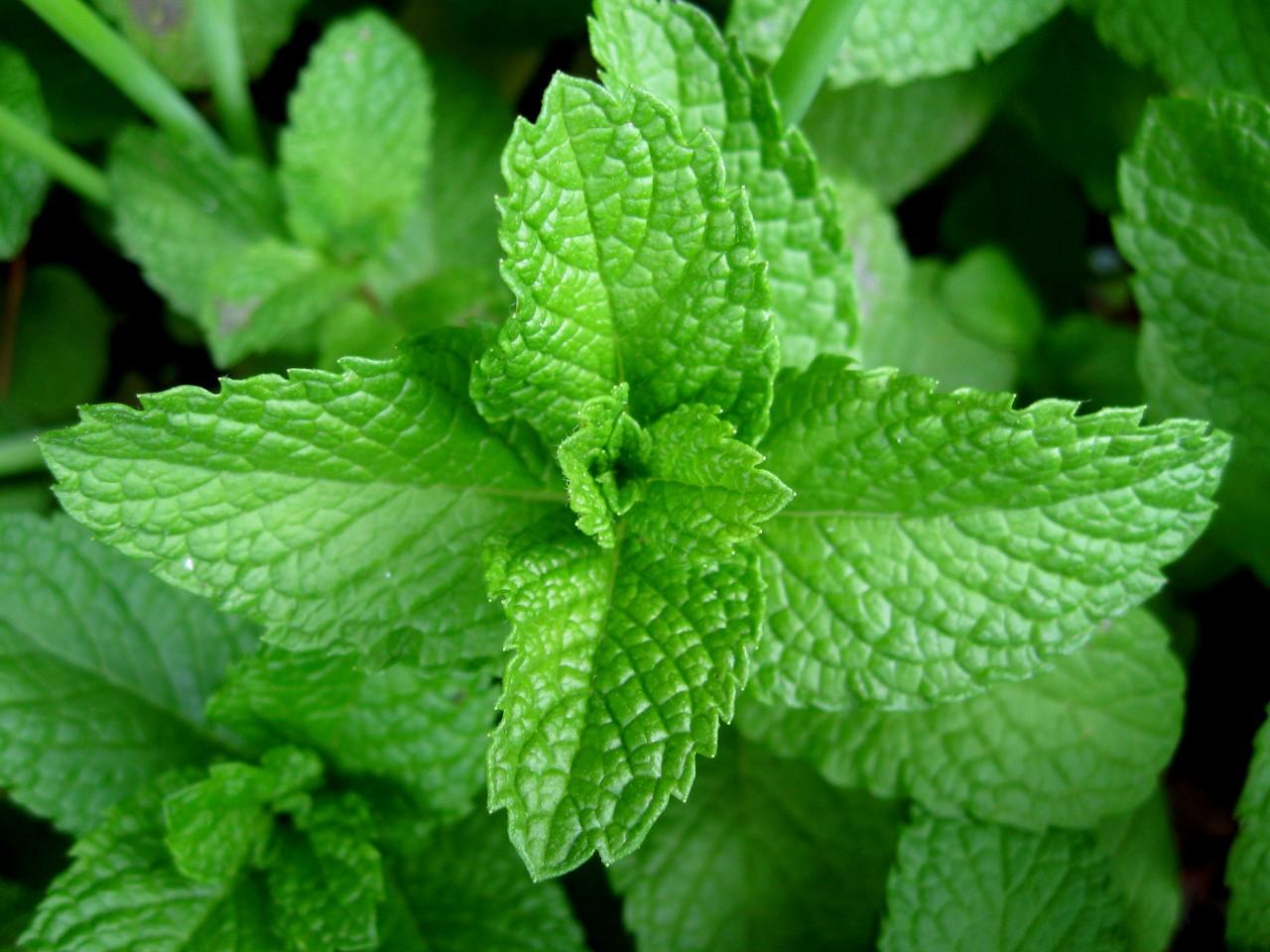 Trzy polskie zioła, które zawsze pomogą na trawienie
